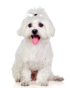 Bichon Maltese are one of the dog breeds that get canine Cushing's disease.