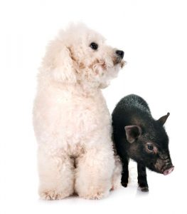 A Bichon Frise with canine hypothyroidism may gain weight like a pig, but will have a poor appetite.