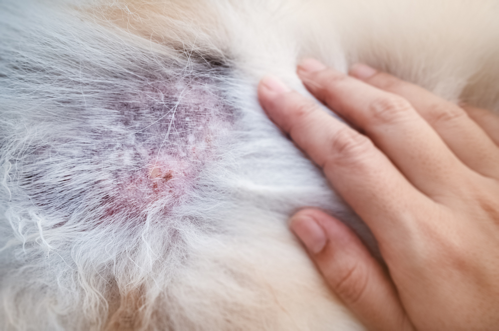 Cushings symptoms shown are hair loss, hyperpigmentation and dermatis.