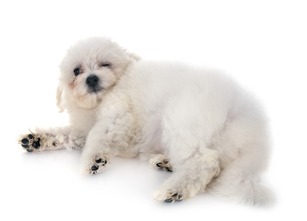 Natural treatment for Cushings could help this overweight Bichon Frise.