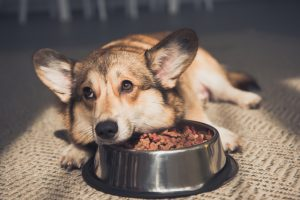 This cute dog who is not eating is showing one of the symptoms of Addison's in dogs, lack of appetite.