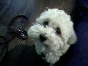 Bichon Frise puppy looking expectantly for his next meal