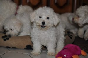bichon frise puppies still with mother