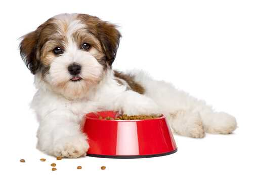 bichon puppy with bowl of food