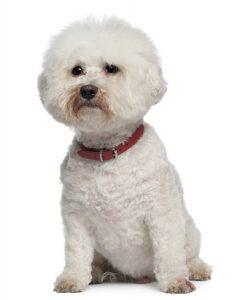 13 year old aging Bichon Frise dog