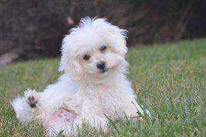 Bichon Frise puppy who is being housetrained