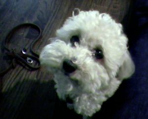 Bichon Frise puppy telling you its time to eat
