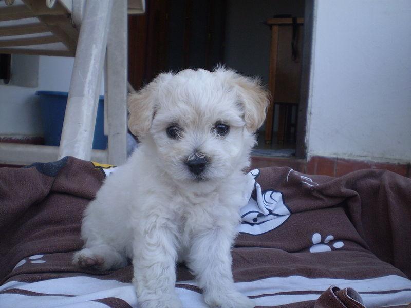 Bichon Frise puppy sitting on a brown print cloth