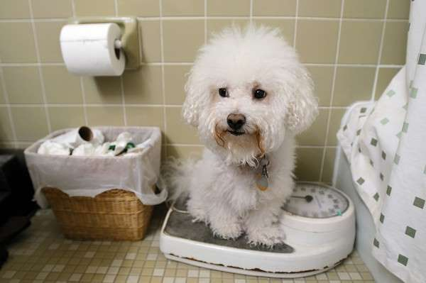 Bichon Frise puppy being weighed on a scale