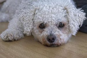 Bichon Frise lying down, needing dog heat stroke treatment