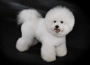 Bichon Frise formal hair cut